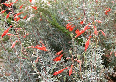 Epilobium canum  California fuchsia