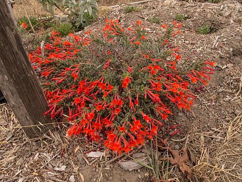 Epilobium c. latifolium Everett's Choice California Fuchsia