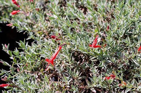 Epilobium canum Schieffelin's Choice prostrate California fuchsia