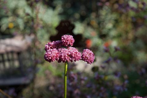 Eriogonum latifolium rubescens  red buckwheat