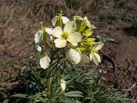 Erysimum menziesii concinnum  bluff wallflower