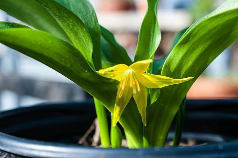 Erythronium tuolumnense  fawn lily