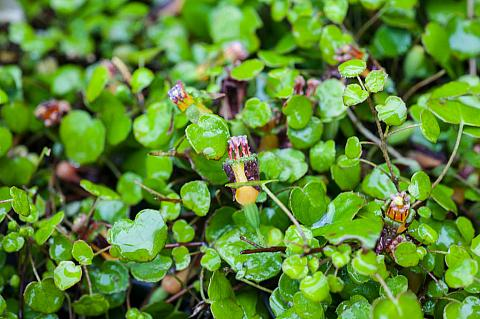 Fuchsia procumbens  creeping fuchsia
