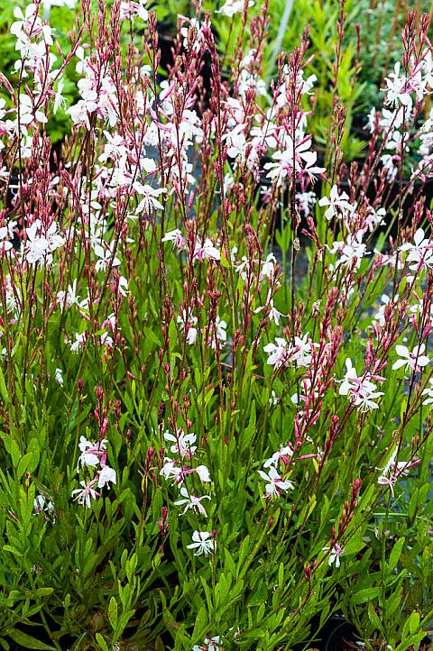 gaura lindheimeri 39 whirling butterfly 39 mostly natives. Black Bedroom Furniture Sets. Home Design Ideas