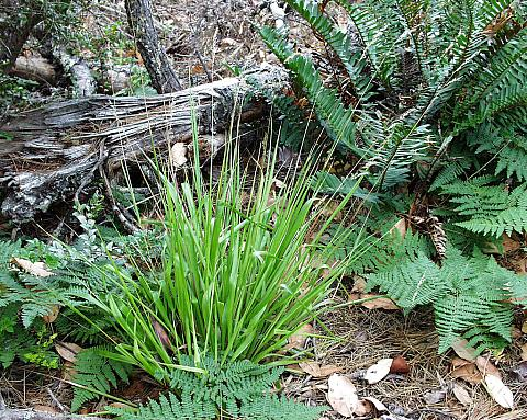 Hierochloe occidentalis  California sweet grass