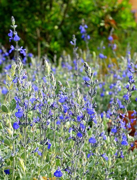 Salvia chamaedryoides  gentian sage