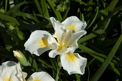 Iris x Canyon Snow iris pacific coast hybrid