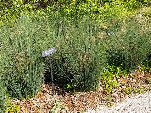 Juncus patens  California gray rush