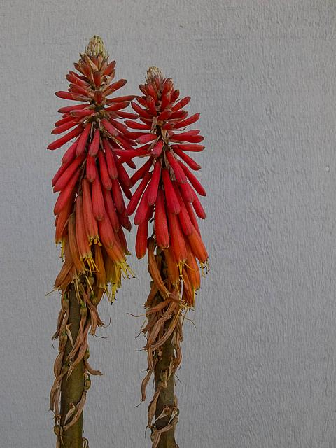 Knipofia varieties  red torch lily
