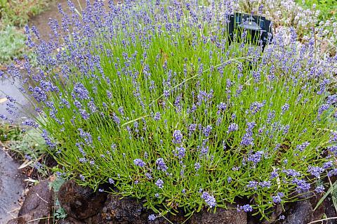Lavandula angustifolia Hidcote dwarf English lavender