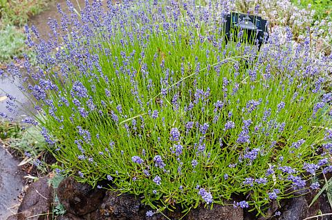 Lavandula Angustifolia Hidcote Mostly Natives Nursery