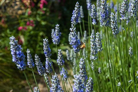 Lavandula X Provence Provence lavender