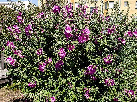 Lavatera x kew rose  bush mallow