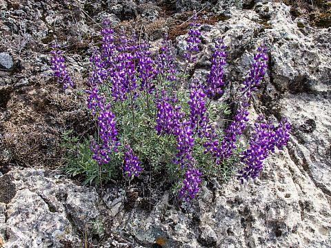 Lupinus albifrons collinus  prostrate silver lupine