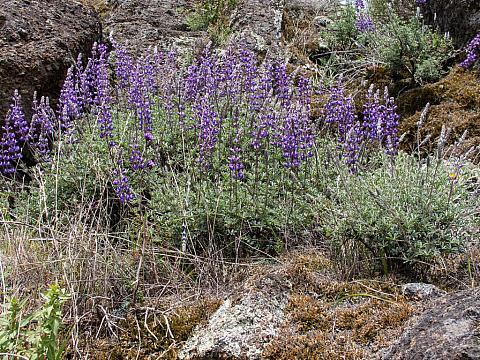 Lupinus albifrons  silver bush lupine