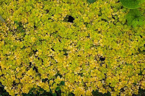 Lysimachia nummularia Aurea moneywart