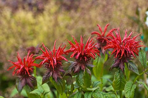 Monarda didyma Jacob Cline red bee balm