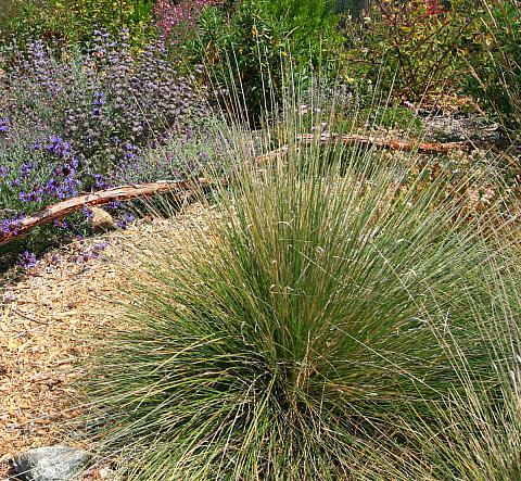 Muhlenbergia dubia  Pine Muhly
