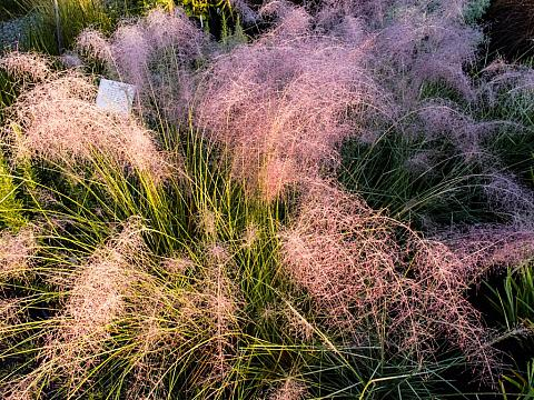 Muhlenbergia capillaris  purple muhly