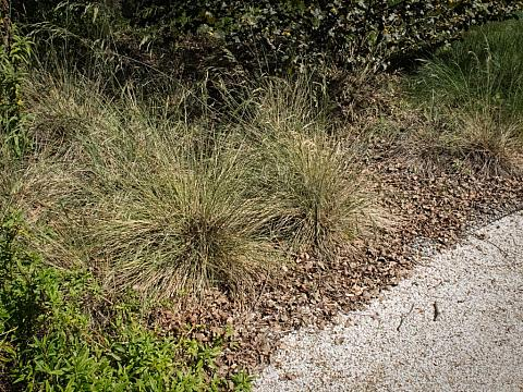 Nassella pulchra  purple needle grass