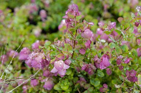 Origanum x rotundifolium Kent beauty ornamental oregano