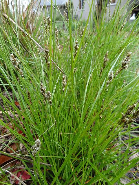 Carex pansa  California meadow grass