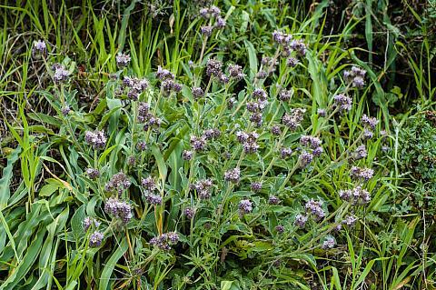 Phacelia californica  bluff phacelia