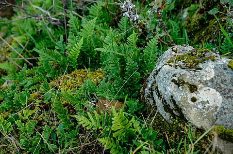Polypodium californicum  California polypody