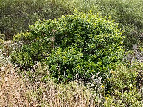 Rhamnus californica  coffeeberry