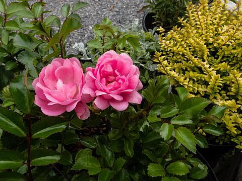 Rosa  The Fairy Fairy rose