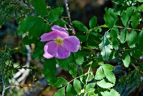 Rosa woodsii v. ultramontana  Sierra rose