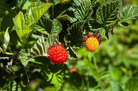 Rubus spectabilis  salmonberry
