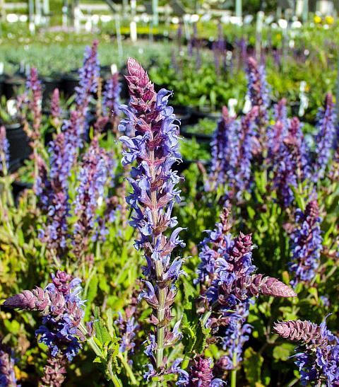 Salvia x superba East Friesland Perennial sage