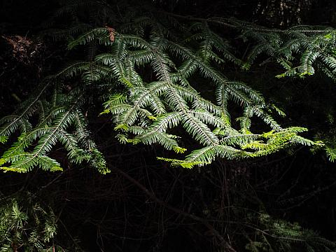 Sequoia sempervirens  coastal redwood