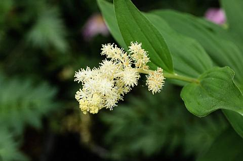 Smilacina racemosa  Solomon's plume