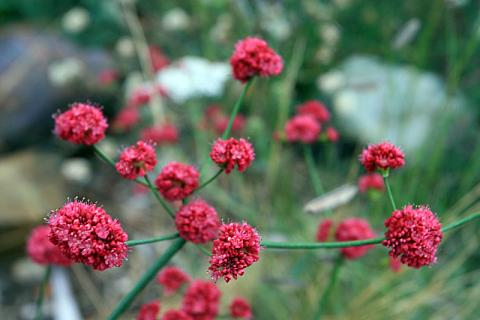 Eriogonum latifolium rubescens Suzi's Red Suzi's red buckwheat