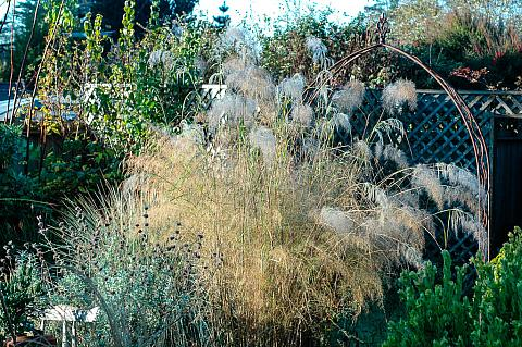 Stipa ramosissima  pillar of smoke
