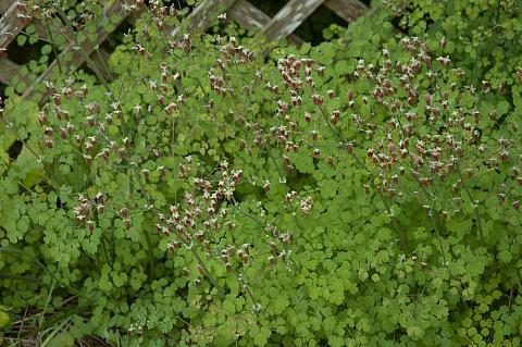 Thalictrum occidentale  meadow rue