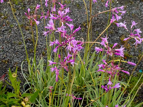 Tulbaghia violacea Silver Lace variegated society garlic