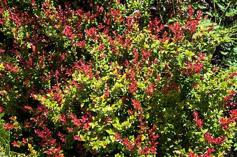 Vaccinium ovatum  huckleberry