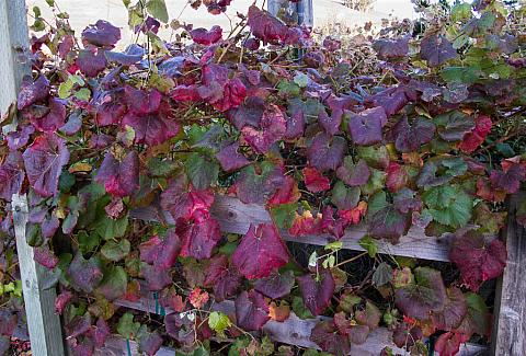 Vitis x californica Roger's Red wild grape