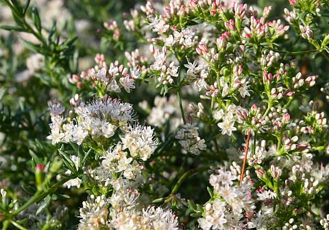 Eriogonum fasciculatum Warriner Lytle Warriner Lytle Buckwheat