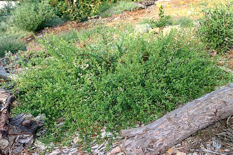 Eriogonum fasciculatum Warriner Lytle Warriner Lytle Buckwheat