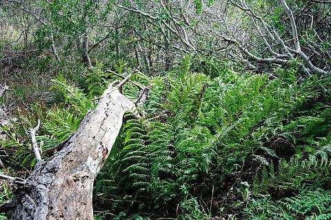 Woodwardia fimbriata  giant chain fern
