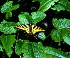 Anise Swallowtail on Mint