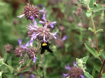Bumblebee on a Salvia