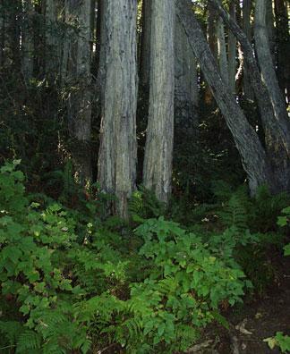 Redwood Understory