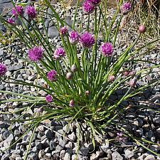 Allium schoenoprasum  chives
