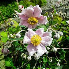 Anemone x hybrida  Japanese anemone