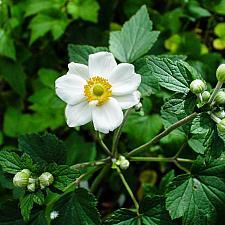 Anemone x hybrida Honorine Jobert Japanese anemone